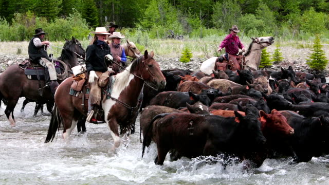 cowboys herding cattle across a river - herding stock videos and b-roll footage