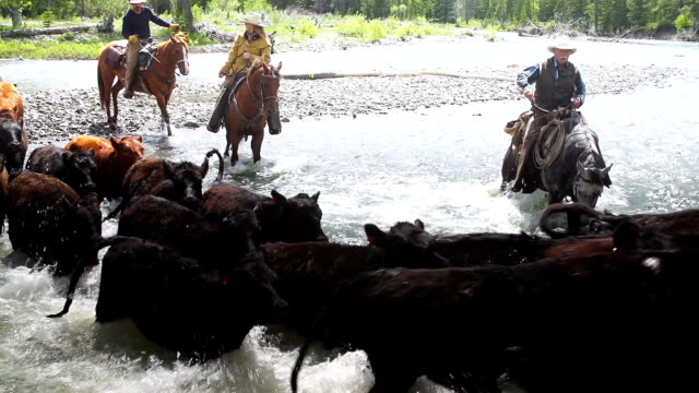 cowboys herding cattle across river  rapids - danger stock videos & royalty-free footage