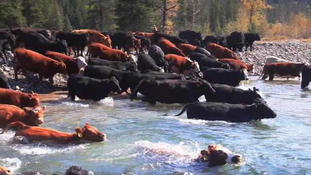 カウボーイズの遊牧がある牛の川