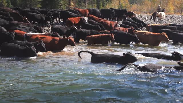 stockvideo's en b-roll-footage met cowboys herding cattle across river - werkdier