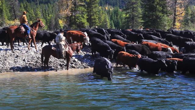 Cowboys herding cattle across river