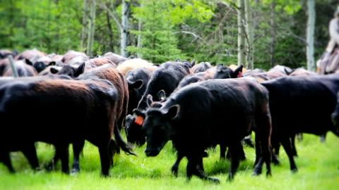 cowboys herding cattle from field - herding stock videos & royalty-free footage