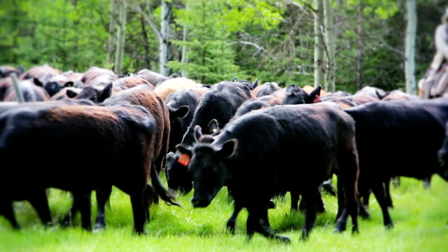 cowboys herding cattle from field - ranch stock videos & royalty-free footage