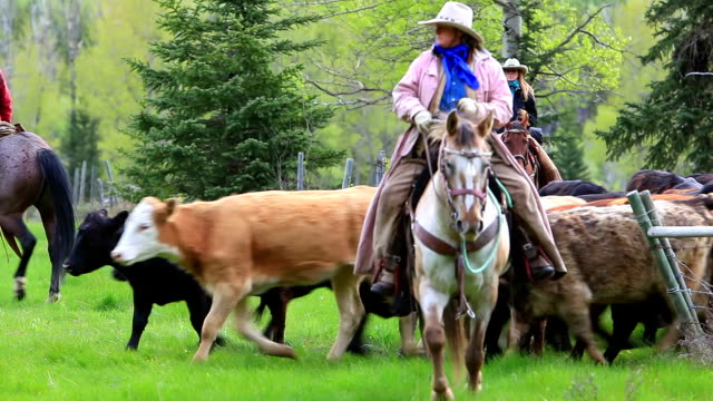 cowboys herding cattle from field - herding stock videos and b-roll footage