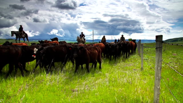 stockvideo's en b-roll-footage met cowboys herding cattle  horseback along fence line - ranch