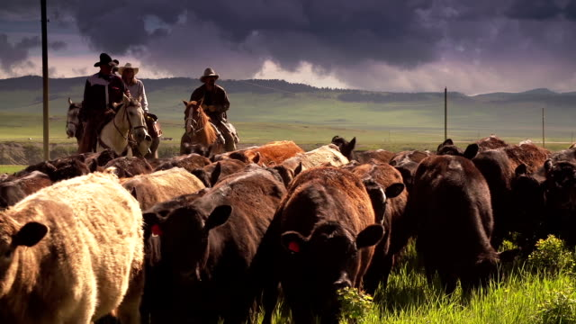 stockvideo's en b-roll-footage met cowboys herding cattle  horseback under storm clouds - ranch