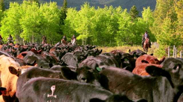 cowboys herding cattle in field - herding stock videos & royalty-free footage