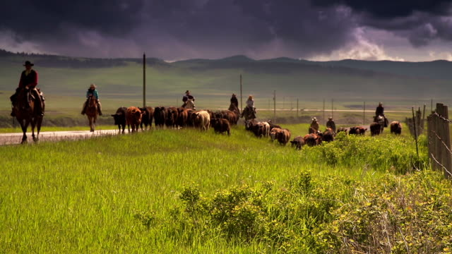 Cowboys herding cattle on  horseback along fence line