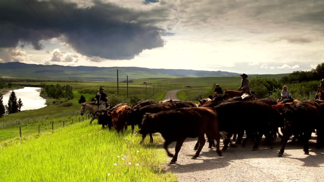 Cowboys herding cattle on  horseback down country road