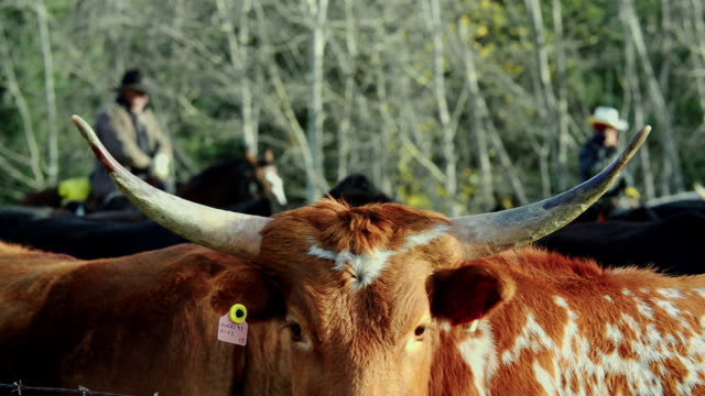 cowboys herding longhorn cattle in a holding pen - cattle stock videos & royalty-free footage