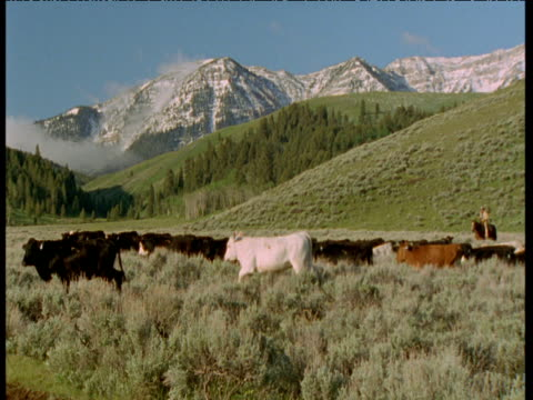cowboys on horseback drive cattle herd in front of mountains, montana - cattle drive stock videos & royalty-free footage