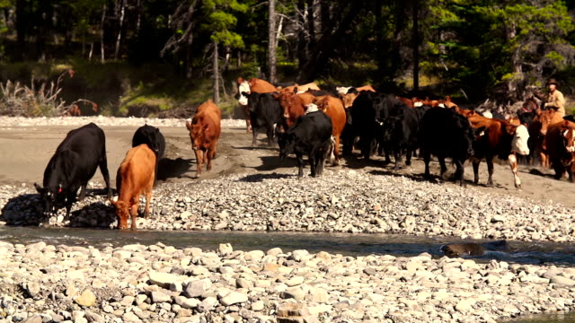 cowboys  on horseback herding cattle across a river - riverbed stock videos & royalty-free footage
