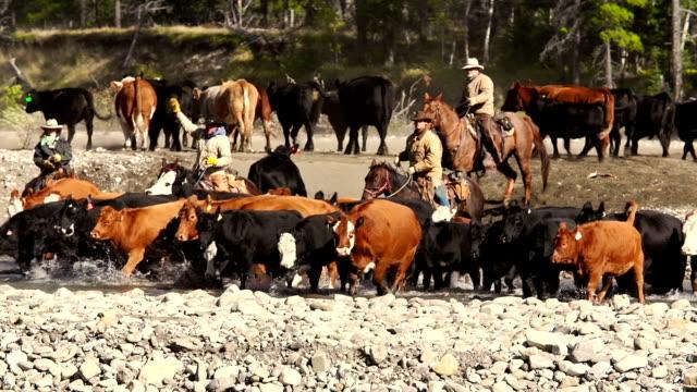 vídeos de stock e filmes b-roll de cowboys em horseback pastorear bovinos em um rio - cruzar