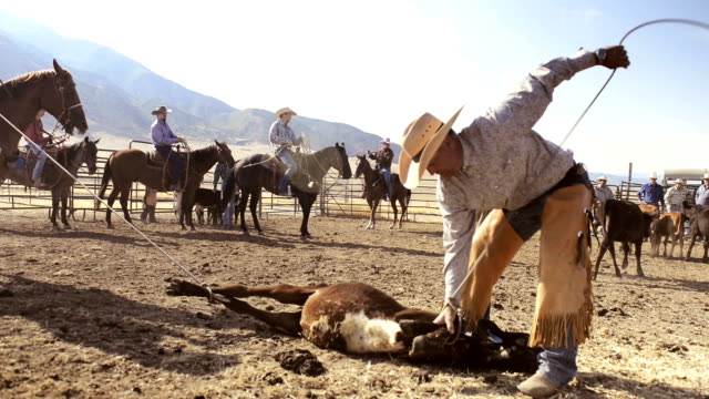 Cowboys roping cows for branding