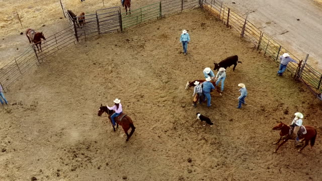 cowboys roping cows for branding - ranch stock videos & royalty-free footage