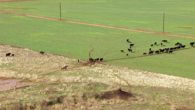 ms aerial zo cowboys with cows on pasture in panhandle plains at circle bar ranch / truscott, texas, united states - 牧畜場点の映像素材/bロール