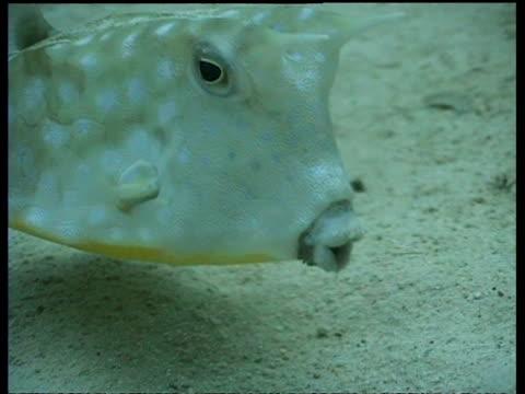 cu cowfish, feeding in sand, mabul, borneo, malaysia - horned stock videos & royalty-free footage