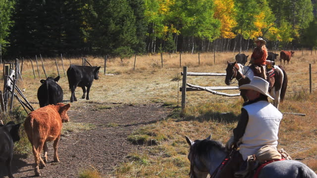 Cowgirl and Cowboy counting cattle on horseback