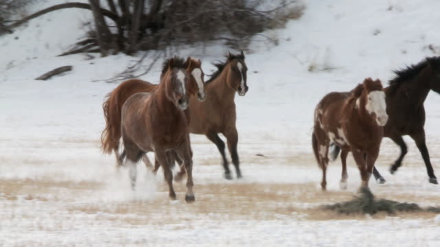 vídeos y material grabado en eventos de stock de ts cowgirl and cowboy on horseback and dog herding galloping horses through snow / shell, wyoming, united states - galopar