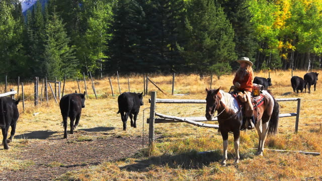Cowgirl counting cattle on horseback