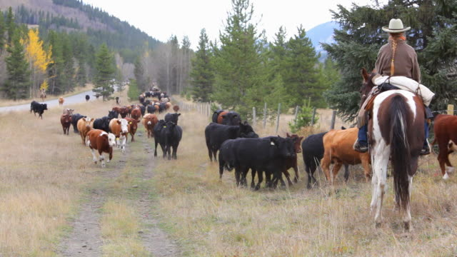 cowgirl counting cattle on horseback - rancher stock videos & royalty-free footage