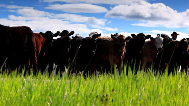 cowgirl herding cattle - women doing farm animals stock videos and b-roll footage