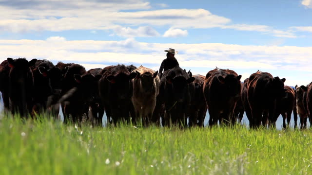 cowgirl herding cattle - rancher stock videos & royalty-free footage
