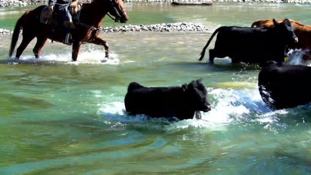 cowgirl on horseback  herding cattle across a river - herding cattle stock videos & royalty-free footage