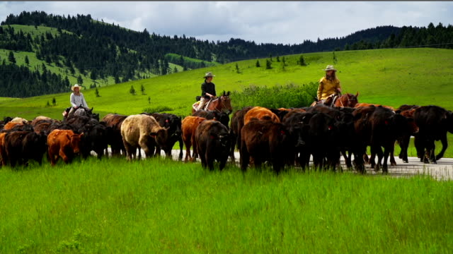 Cowgirls and cowboy herding cattle on  horseback on back country road