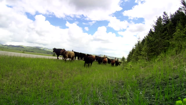 cowgirls and cowboy herding cattle on  horseback on country road - prairie stock videos & royalty-free footage