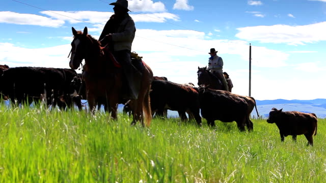 cowgirls and cowboys herding cattle - herding stock videos and b-roll footage