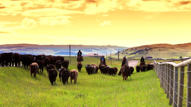 cowgirls and cowboys herding cattle - rancher stock videos & royalty-free footage