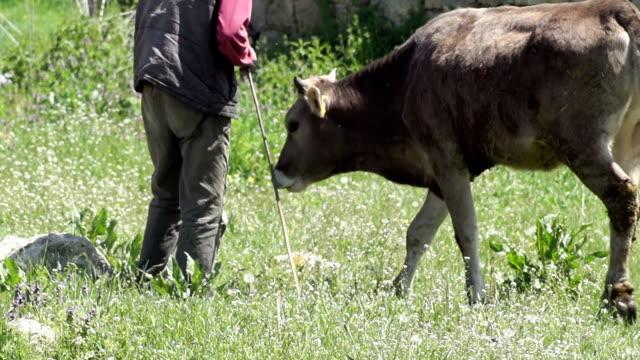 vidéos et rushes de hd:  cowman est attentionné de veau - petit groupe d'animaux