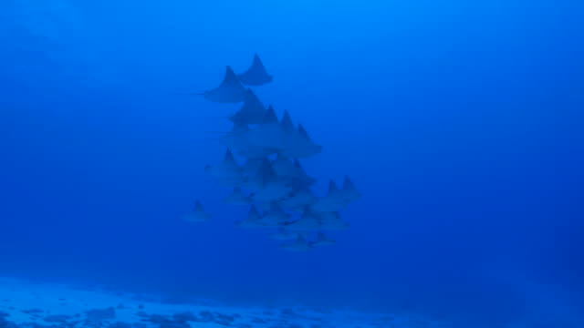 cownose ray flying undersea, ogasawara, japan - eagle ray stock videos and b-roll footage