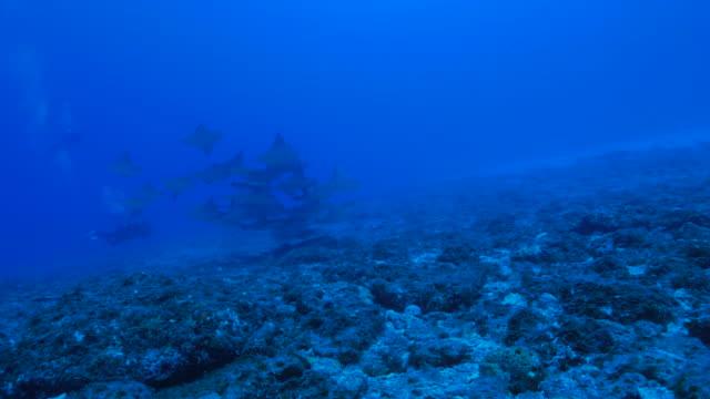 石線日本サンゴ礁におけるスクーリング、 - トビエイ点の映像素材/bロール