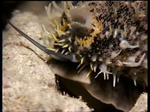 vídeos de stock, filmes e b-roll de cu cowrie on seabed - molusco invertebrado