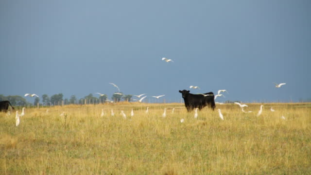 Cows and birds in rural scenery in Central Argentina.