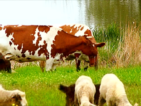 cows and goats - cow stock videos & royalty-free footage