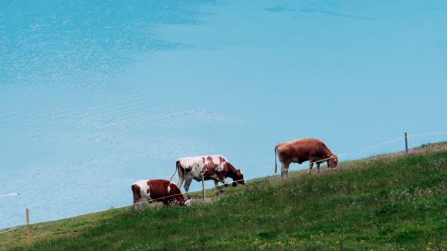 cows and lake thun - lake thun stock videos and b-roll footage