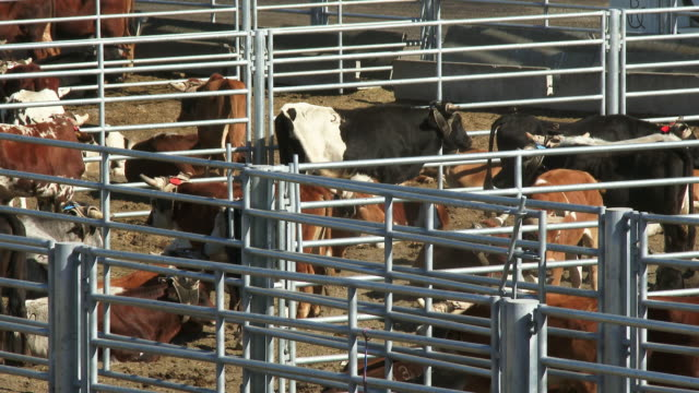 cows and livestock in pens prior to a rodeo - animal pen stock videos & royalty-free footage