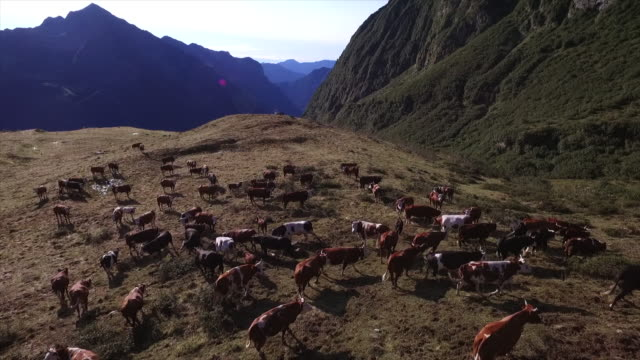 cows and paragliding on the alps, italy - inquadratura da un aereo video stock e b–roll