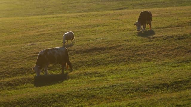 vídeos de stock, filmes e b-roll de as vacas e as ovelhas no pasto - vídeo de estoque - província de ulster