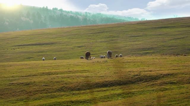 vídeos y material grabado en eventos de stock de vacas y ovejas en el pasto - video stock - campo tierra cultivada
