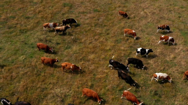 cows are grazing in the meadow - grazing stock videos & royalty-free footage