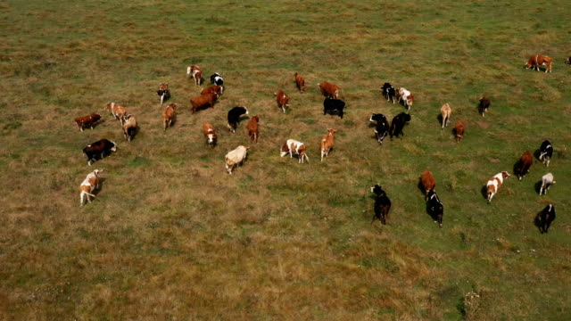 cows are grazing in the meadow - bosnia and hercegovina stock videos & royalty-free footage