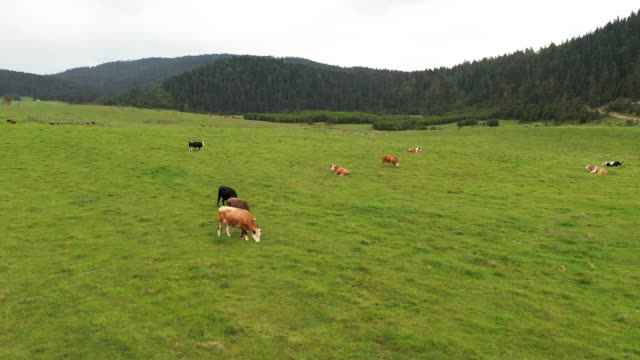 cows are grazing in the meadow - cattle stock videos & royalty-free footage