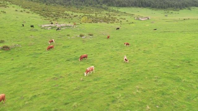 kühe weiden auf der wiese - pasture stock-videos und b-roll-filmmaterial