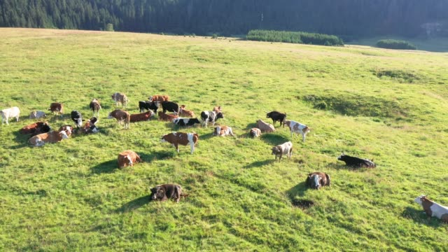 cows are grazing in the meadow - pasture stock videos & royalty-free footage