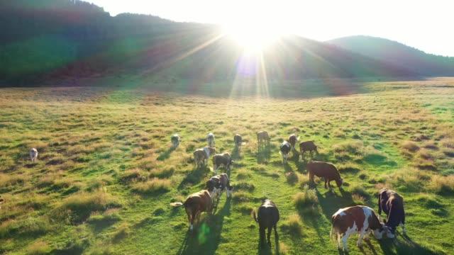 vídeos y material grabado en eventos de stock de las vacas pastan en el prado - paisaje ondulado
