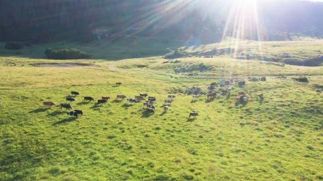 vidéos et rushes de les vaches broutent dans le pré - vache